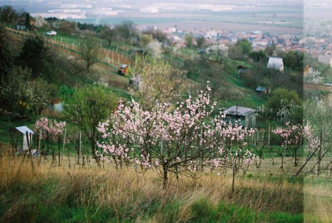 strom_kvitne
