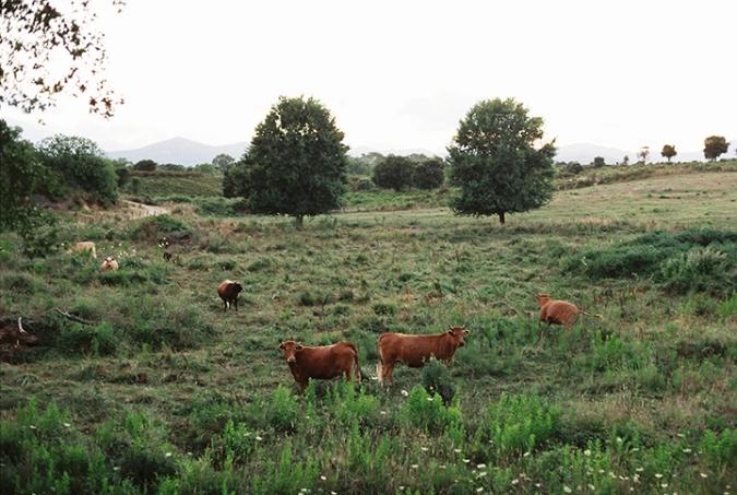 kravy-pri-ceste-2