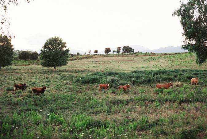 kravy-pri-ceste