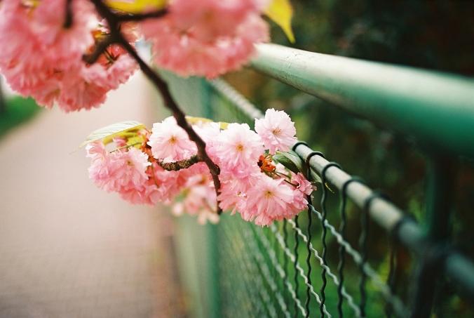 detail-sakura