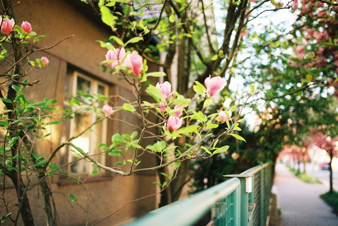magnolia-frana-mojtu-jar