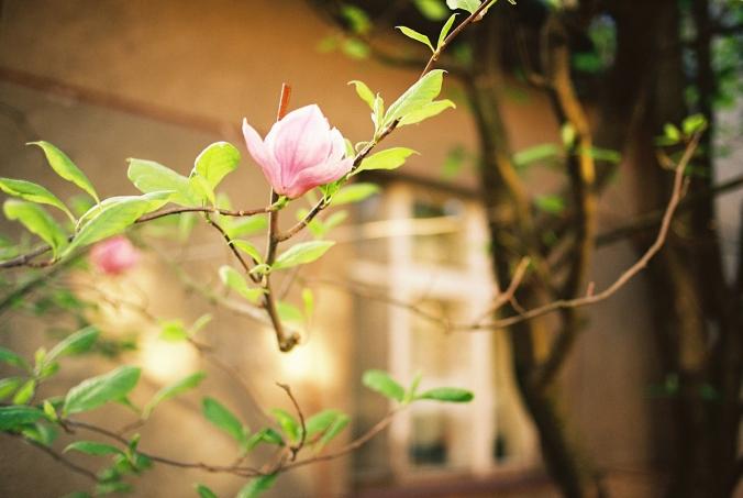 magnolia-frana-mojtu